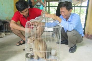 Tiếp nhận và cứu hộ khỉ đuôi lợn từ người dân
